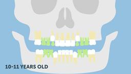 Permanent bite (teething timeline). Dental 2d animation Animation