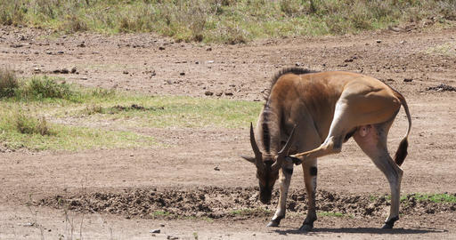 Cape Eland, taurotragus oryx, Male Scratching, Nairobi Park in Kenya, Masai Mara Park in Kenya, Real Live Action