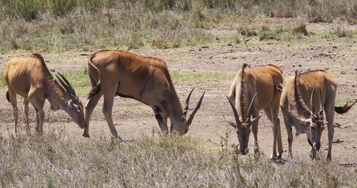Cape Eland, taurotragus oryx, Nairobi Park in Kenya, Masai Mara Park in Kenya, Real Time 4K Live Action