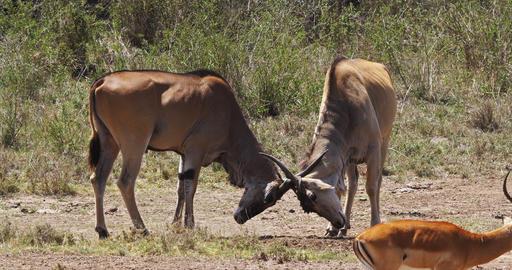 Cape Eland, taurotragus oryx, Males Fighting, Nairobi Park in Kenya, Masai Mara Park in Kenya, Real Live Action