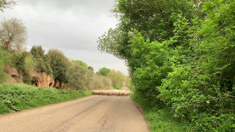 A flock of sheeps walking on the road in the country Footage