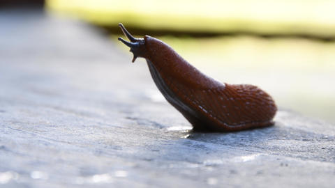 Roadside red slug crawling on concrete leaving slime, pest of gardens and vegetable gardens, Spanish Live Action