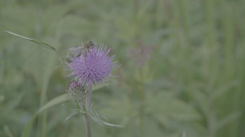 Cirsium oligophyllum&Bee Live Action