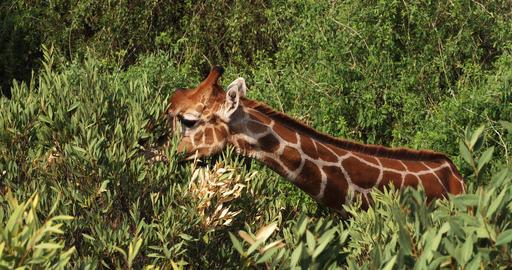Reticulated Giraffe, giraffa camelopardalis reticulata, Adult eating Leaves, Samburu park in Kenya, Live Action