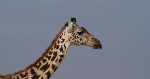 Masai Giraffe, giraffa camelopardalis tippelskirchi, Portrait of Adult, Masai Mara Park in Kenya, Live Action