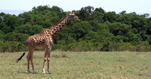 Masai Giraffe, giraffa camelopardalis tippelskirchi, Adult standing in Savanna, Masai Mara Park in Live Action