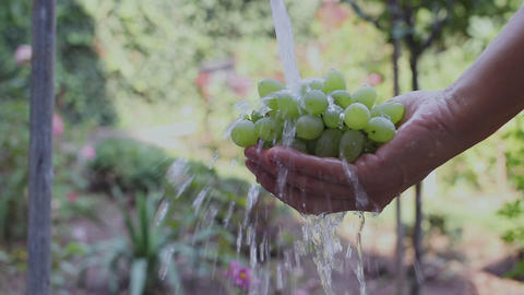 Woman's hand washing fresh and organic grapes with fresh and clean water in the garden Live Action