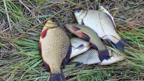 Caught fish lying on the grass 3 Footage