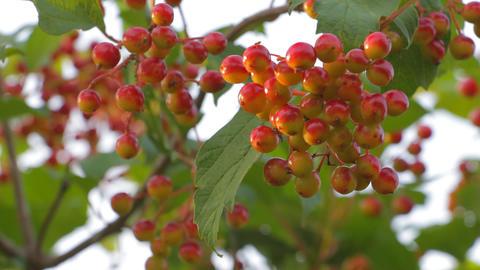 Bunch of ripe Viburnum wind shakes 2 Footage