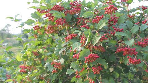 Viburnum bush with berries 4 Footage