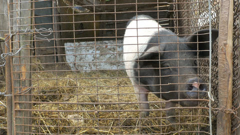 A Pork in A Cage Footage