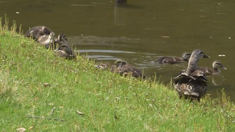 Duck family resting near a pond Footage