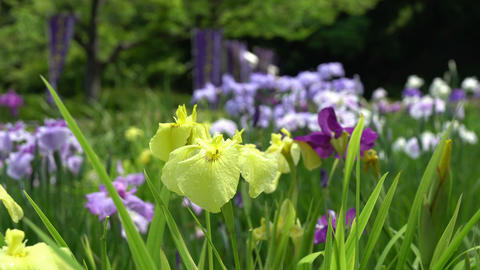Iris Flower in rainy season recorded at 9AM on June 8, 2016 Footage
