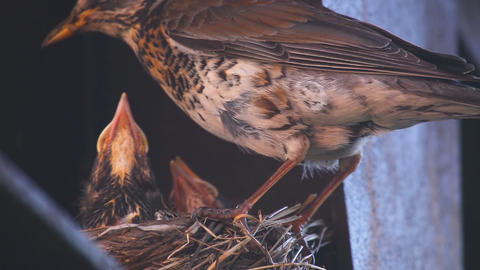 Female Fieldfare on the nest Footage
