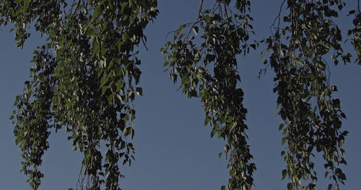 Hanging branches with leaves of a Birch Tree with a cloudless blue sky in the ba Footage