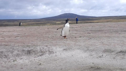 Gentoo penguin running on the beach at Volunteer Point, Falkland Islands Footage