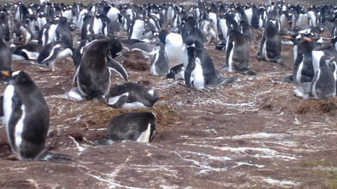 Colony of Gentoo penguins (Pygoscelis papua) at Volunteer Point, Falkland Island Footage