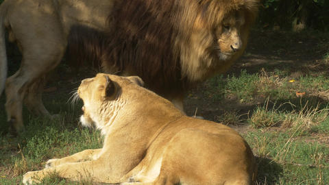 Scenic Close up portrait view couple of Lions relaxing Live Action