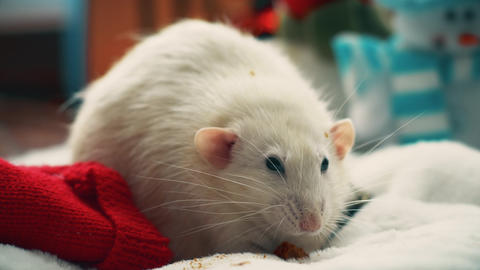 White domestic rat eat cookie Live Action