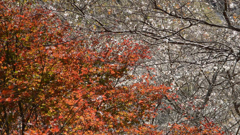 Fall in fine weather, colored leaves with autumn leaves and cherry blossoms in autumn 0180 ビデオ