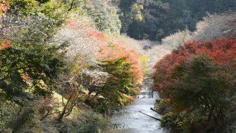 On a sunny day in the fall, on both sides of the river are the trees and cherry trees blooming in Live Action