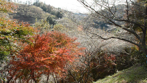 Fall in fine weather, colored leaves with autumn leaves and cherry blossoms in autumn 0195 ビデオ