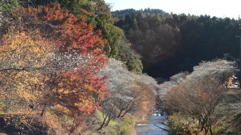 Maples and cherry trees. Maple leaves and cherry trees sway in the wind 0120 Live Action
