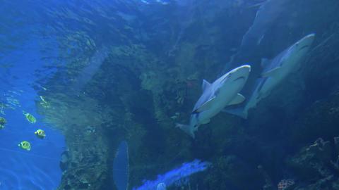 Sharks swim in a large aquarium 006 Live Action