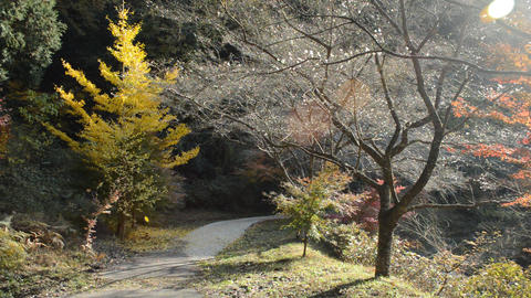 On both sides of the promenade are cherry trees blooming in autumn and ginkgo trees 0298 Live Action