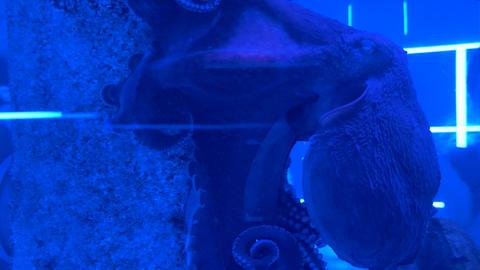 Octopus sitting in the aquarium 001 Live Action