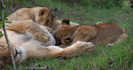 African Lion, panthera leo, Mother and Cub suckling, Masai Mara Park in Kenya, Real Time 4K Live Action