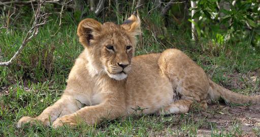 African Lion, panthera leo, cub laying down looking around, Masai Mara Park in Kenya, Real Time 4K Live Action