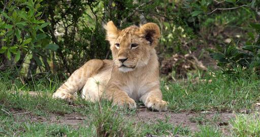 African Lion, panthera leo, Cub Resting, Masai Mara Park in Kenya, Real Time 4K Live Action