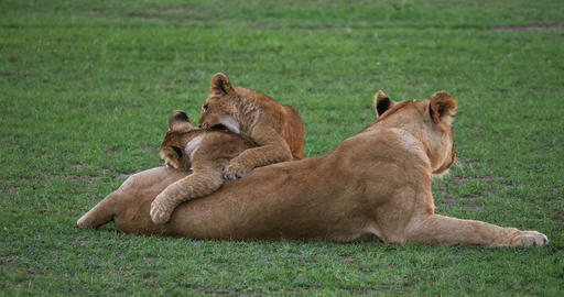 African Lion, panthera leo, Mother and Cub playing, Masai Mara Park in Kenya, Real Time 4K Live Action