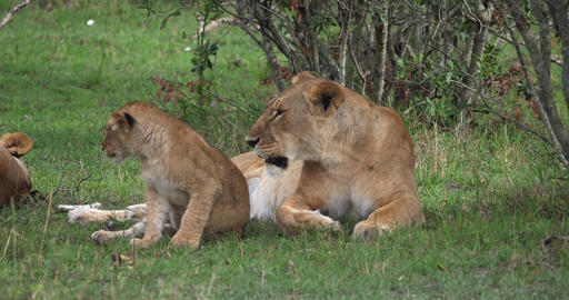 African Lion, panthera leo, Mother and Cub, Masai Mara… Stock Video Footage