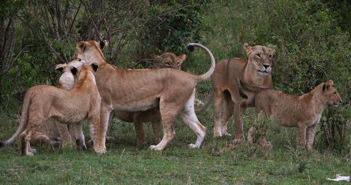 African Lion, panthera leo, Mothers and Cubs, Masai Mara Park in Kenya, Real Time 4K Live Action