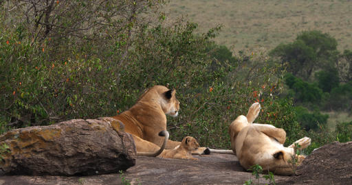 African Lion, panthera leo, Females and Cub , Masai Mara... Stock Video Footage