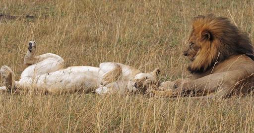 African Lion, panthera leo, Pair laying on Grass, Masai Mara Park in Kenya, Real Time 4K Live Action