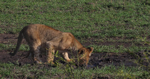 African Lion, panthera leo, Cubs drinking Water, Masai… Stock Video Footage
