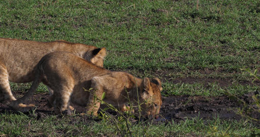 African Lion, panthera leo, Cubs drinking Water, Masai Mara Park in Kenya, Real Time 4K Live Action