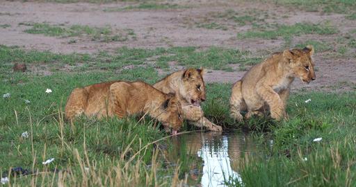 African Lion, panthera leo, cubs drinking Water, Masai Mara Park in Kenya, Real Time 4K Live Action