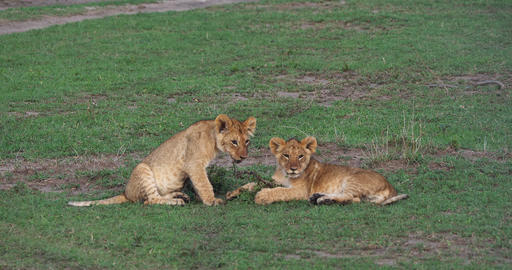 African Lion, panthera leo, cubs, Masai Mara Park in Kenya, Real Time 4K Live Action