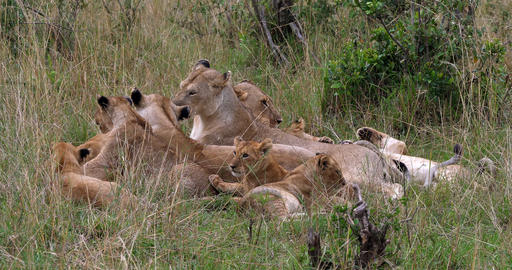African Lion, panthera leo, Group with Cubs, Masai Mara Park in Kenya, Real Time 4K Live Action
