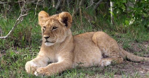 African Lion, panthera leo, Cub laying down, Masai Mara Park in Kenya, Real Time 4K Live Action