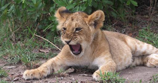 African Lion, panthera leo, Cub Yawning, Masai Mara Park in Kenya, Real Time 4K Live Action