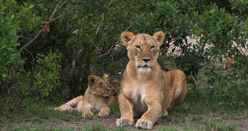 African Lion, panthera leo, Mother and Cub, Masai Mara Park in Kenya, Real Time 4K Live Action