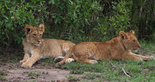 African Lion, panthera leo, Cubs, Masai Mara Park in Kenya, Real Time 4K Live Action