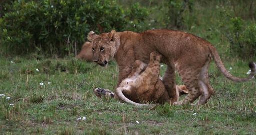 African Lion, panthera leo, Cubs playing, Masai Mara Park in Kenya, Real Time 4K Live Action