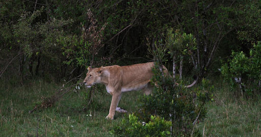 African Lion, panthera leo, Female Walking, Masai Mara Park in Kenya, Real Time 4K Live Action