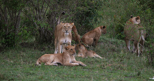 African Lion, panthera leo, Group standing in the bush, Masai Mara Park in Kenya, Real Time 4K Live Action